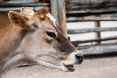 Close-up of jersey cow head with mouth open Royalty Free Stock Image