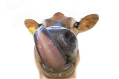 Close up of jersey cow licking lips, cut out Royalty Free Stock Photo