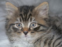 Close-up head-shot of Jesse the kitten. Royalty Free Stock Photography