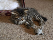 Close up of Jesse the kitten playing with a toy mouse. Royalty Free Stock Photo