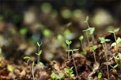 Close-up jonge spruiten van berk in de lente in het hout Stock Afbeelding