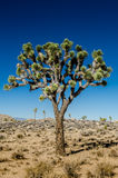 Close Up of Joshua Tree on Clear Day Stock Image