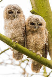Close-up 2 joung Tawny Owls. 2 joung Tawny Owls  sitting in the three Stock Image