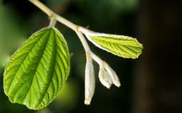 Close up of jujube leaves Royalty Free Stock Photography