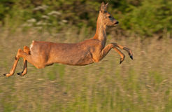 Close-up of jumping Roe deer (Capreolus capreolus) Royalty Free Stock Photo