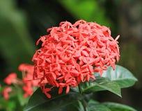 Close up of Jungle geranium Stock Photos