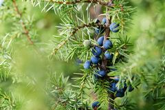 Close-Up Of Juniper Berries Growing On Tree stock image