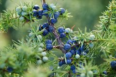 Close-Up Of Juniper Berries Growing On Tree stock images