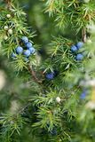 Close-Up Of Juniper Berries Growing On Tree royalty free stock images