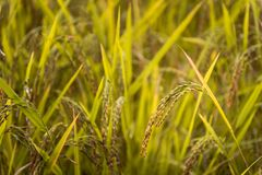 Close up of jusmin rice field royalty free stock images