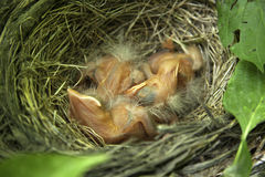 Robin chicks in nest. Close-up of just hatched Robin chicks in nest Royalty Free Stock Photos