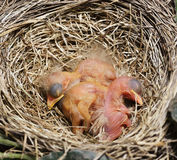 Close-Up Of Just Hatched Robin Chicks Royalty Free Stock Images