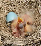 Close-Up Of Just Hatched Robin Chicks Royalty Free Stock Photos