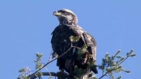 Close up of juvenile eagle against blue sky background