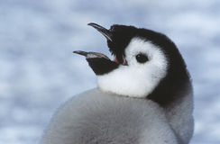 Close-up of Juvenile Emperor Penguin with open beak Royalty Free Stock Photo