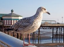 Close up of a juvenile herring gull stood on a railing with blackpool north pier in the background reflected in water on the beach Royalty Free Stock Photography