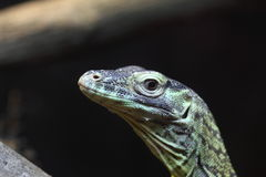 Close up of a juvenile Komodo Dragon Royalty Free Stock Photos