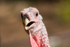 Close up of juvenile male turkey  head facing towards camera. Soft focus just before the eye Stock Photos