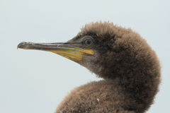 Close up of a juvenile shag Stock Photo