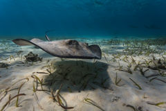 Close-up of juvenile southern stingray navigating the sea bed by flapping his pectoral fins Stock Photo