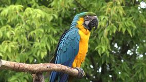 Close up 4k shot of beautiful gracious neo tropical macaw genus colorful plumage ara parrot bird with long narrow tail. Close up shot of beautiful gracious neo stock video footage