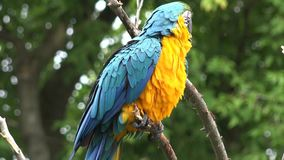 Close up 4k shot of gracious beautiful neo tropical macaw genus colorful plumage ara parrot bird with long narrow tail. Close up shot of gracious beautiful neo stock footage