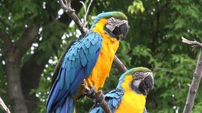 Close up 4k shot of two beautiful colorful plumage neo tropical macaw genus ara parrot bird long narrow tail playing. Close up shot of two beautiful colorful stock video
