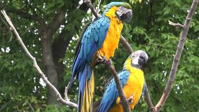 Close up 4k shot of two beautiful neo tropical macaw genus colorful plumage ara parrot bird long narrow tail playing. Close up shot of two beautiful neo tropical stock video footage