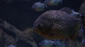 Close up 4K video of piranhas floating under water stock footage