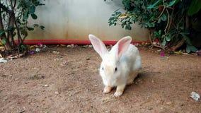 Close-up4k video van mooie witte konijnzitting op grond stock video