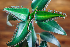 Close up of Kalanchoe pinnata plant. Bryophyllum daigremontianum, also called Mother of Thousands, Alligator Plant. Close up of Kalanchoe pinnata plant stock photo