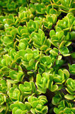 Close up of Kalanchoe - succulent Stock Photography