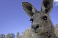 Close up of Kangaroo Stock Photos