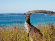 Close up of a kangaroo in australia Stock Photo