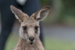 Kangaroo portrait. Close-up of a kangraoo Royalty Free Stock Photography