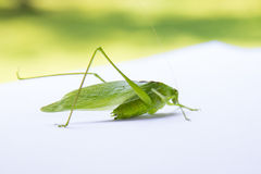 Close of up a Katydid insect Royalty Free Stock Photos