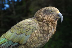 Close up of a Kea Stock Image
