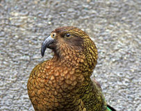 Close-up of the Kea parrot Stock Photo