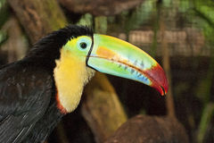 Close-up of a keel-billed toucan head Stock Image