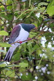 Close up of a Kereru (Hemiphaga novaeseelandiae) Stock Photography