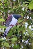 Close up of a Kereru (Hemiphaga novaeseelandiae) Stock Photography