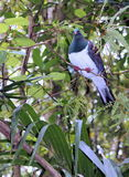 Close up of a Kereru (Hemiphaga novaeseelandiae) Royalty Free Stock Photo