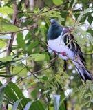 Close up of a Kereru (Hemiphaga novaeseelandiae) Stock Images
