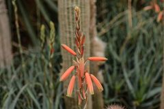 Kids Candy Aloe Blooms. A close up of Kids Candy Aloe blooms an arid desert plant that produces orange blooms in mid-winter stock photography