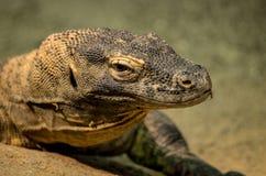 Close up of a Kimodo Dragon. A Close up of a Kimodo Dragon Stock Photography