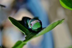 King Page Swallowtail  Caterpillar Royalty Free Stock Photography