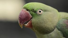 Close up of a King Parrot. Close up of a large green King Parrot stock video