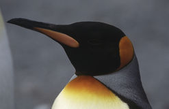 Close-up of King Penguin (Aptenodytes patagonicus) Stock Image