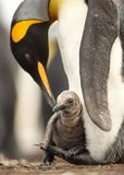 Close up of King penguin chick sitting on the feet of its parent. Falkland islands Royalty Free Stock Images