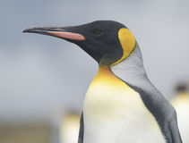 Close up of a King Penguin, Falkland Islands Stock Photography